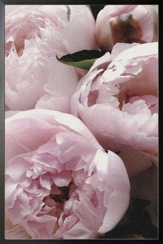 Garden roses poster