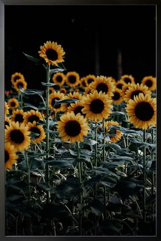 Bunch of sunflowers poster