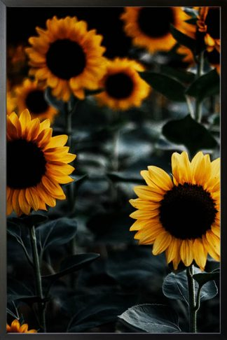 Sunflower close-up poster