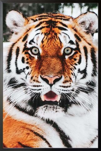 Tiger front view animal poster with frame