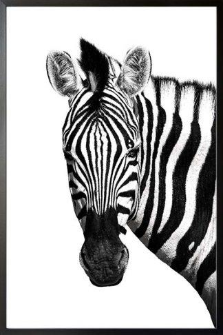 Zebra front face animal poster