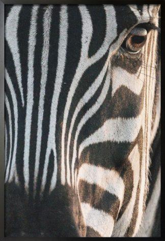 Zebra facial view poster with frame