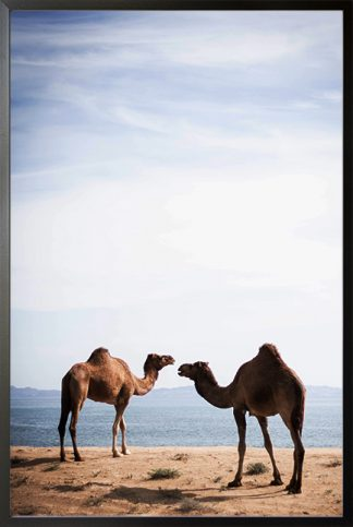 camel couple Poster