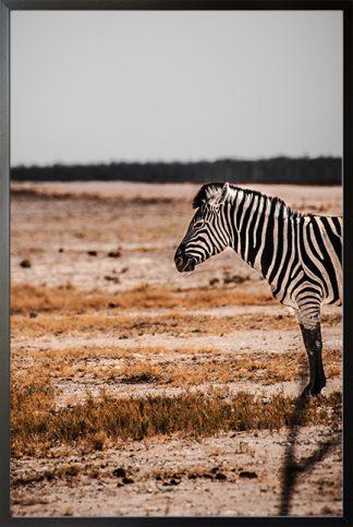Half body zebra Poster