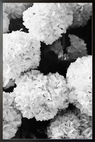 Black and white hydrangea Poster