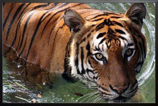 Wet tiger Poster
